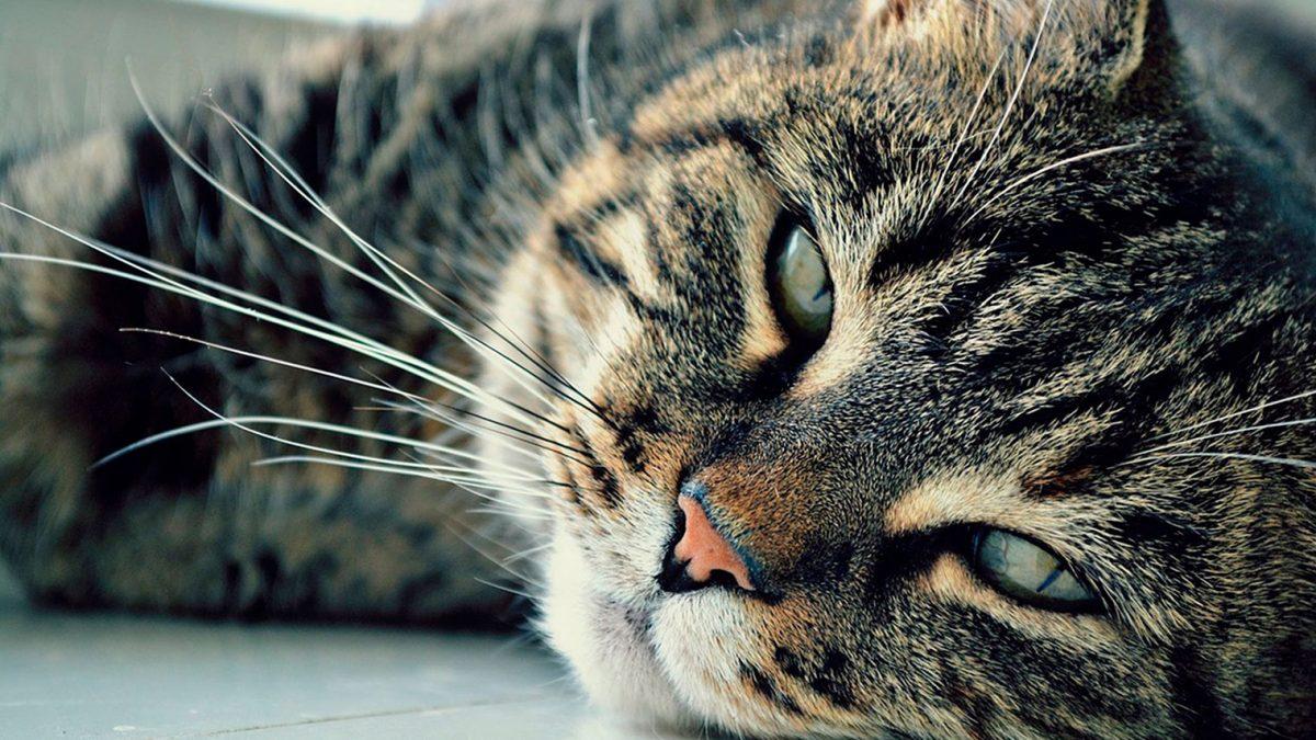Hipertiroidismul-la-pisici